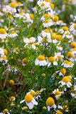Some chamomile flowers. Chamomile flowers in a field in the spring stock photo