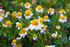 Some chamomile flowers. Chamomile flowers in a field in the spring Stock Image