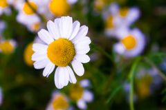 Some chamomile flowers. Chamomile flowers in a field in the spring stock images