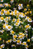 Some chamomile flowers. Chamomile flowers in a field in the spring stock photography