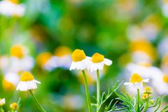 Some chamomile flowers Stock Images