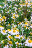 Some chamomile flowers. Chamomile flowers in a field in the spring Royalty Free Stock Photography