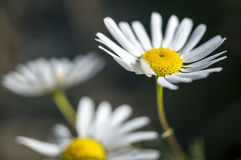 Some chamomile flowers. Summer flowers of white chamomile stock images