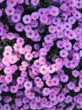 Chamomiles in a garden. Some chamomiles Matricaria recutita in a garden Royalty Free Stock Photos