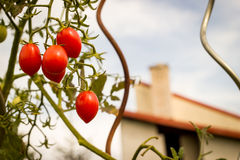 Some cherry tomatoes on the huge garden. Some cherry red tomatoes on the huge garden stock photography