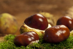 Some chestnut. Some Horse chestnuts on green moss Royalty Free Stock Image
