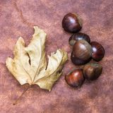 Some Chestnuts on  Brown Cloth Background with Leaves and raw Sh. Ell Stock Photography