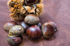 Some Chestnuts on Brown Cloth Background with Leaves and raw Sh. Ell of Thorns Royalty Free Stock Photo