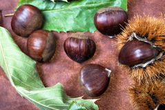 Some Chestnuts on Brown Cloth Background with Leaves and raw Sh. Ell of Thorns Stock Images