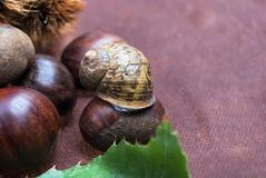 Some Chestnuts on Brown Cloth Background with Leaves and raw Sh. Ell of Thorns Stock Photo
