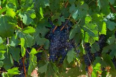 Blue grapes on plant. Some clusters of ripe blue grapes hanging on plants in a vineyard royalty free stock images