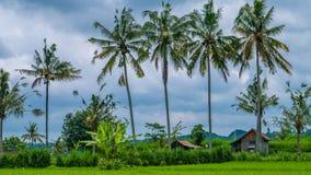 Some Coconut Palm Trees near Rice tarrace, Sidemen. Bali, Indonesia Royalty Free Stock Photos