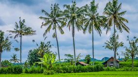 Some Coconut Palm Trees near Rice tarrace, Sidemen. Bali, Indonesia. Some Coconut Palm Trees near Rice tarrace, Sidemen, Bali, Indonesia Stock Photo
