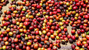 Some coffee cherries. A detail view of coffee cherries captured near the city of Piura, region called Jijili. In the north of Peru, 2011 Royalty Free Stock Photography
