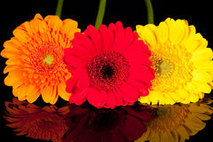 Some colorflul flowers of gerbera on black background. With reflection Royalty Free Stock Photos
