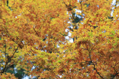 Some colorful leaves in Daihieihieizan. Kyoto Stock Photography