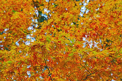 Some colorful leaves in Daihieihieizan. Kyoto Stock Images