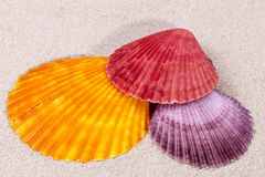 Some colorful sea shells of mollusk on sand. Close up royalty free stock photos
