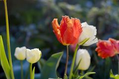 Tulips in the garden. Some colorful tulips in the garden Stock Image