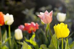 Tulips in the garden. Some colorful tulips in the garden Royalty Free Stock Images