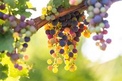 Colorful wine grapes in a vineyard. Some colorful wine grapes in a vineyard Stock Photo