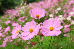Some coreopsis. Some pink coreopsises in the sun royalty free stock images
