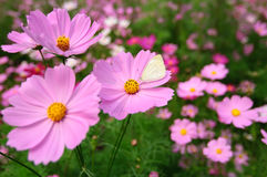 Some coreopsis. Some pink coreopsises in the sun.and one white butterfly rest on one of flower stock photo