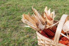 Some corncob in a basket, recently harvested Royalty Free Stock Image