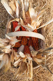 Some corncob in a basket, recently harvested Royalty Free Stock Photos