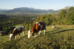 Some cows. On a field at the bavarian alps royalty free stock photo