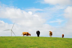 Some cows and bulls on pasture. Several cows and bulls feed on green pasture in Holland. In the background there are a wind turbine and the summer sky. This is stock photography