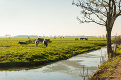 Some cows in a Dutch meadow in autumnal light. Stock Photo