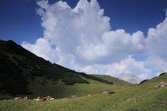 Some cows on a field. In the mountains stock images