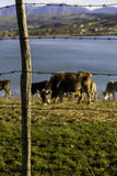 While some cows graze in the lake behind barbed wire Stock Photos