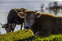 Some cows grazing by the lake. A picture of while some cows graze in the countryside stock photos