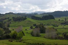 Some cows at green meadows and fields in the New Zealand countryside. In the North Island holiday vacation hill beautiful cloud sky blue empty forest bush stock photography