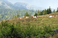 Some cows in a mountain. Mountain landscape with some cows in a field Royalty Free Stock Photos