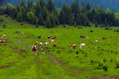Some cows at the mountains. In Romania royalty free stock photos