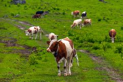 Some cows at the mountains. In Romania stock photography