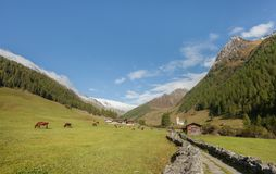 Some cows in a pasture in Ahrntal in Italy Royalty Free Stock Photo