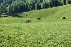 Some cows in a pasture in Ahrntal in Italy stock images
