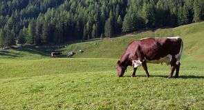 Some cows in a pasture in Ahrntal in Italy Royalty Free Stock Image