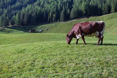 Some cows in a pasture in Ahrntal in Italy. Some cows in  a pasture in Ahrntal in Italy Royalty Free Stock Photography