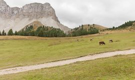 Some cows in a pasture in Val di Funes in Italy stock image