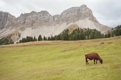 Some cows in a pasture in Val di Funes in Italy royalty free stock image