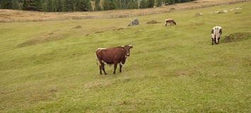 Some cows in a pasture in Val di Funes in Italy royalty free stock photos