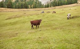 Some cows in a pasture in Val di Funes in Italy royalty free stock photo