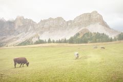 Some cows in a pasture in Val di Funes in Italy stock photography