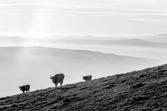 Some cows pasturing on a mountain with fog underneath. Some cows pasturing on a mountain at sunset, with fog underneath Stock Photography