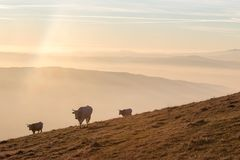 Some cows pasturing on a mountain at sunset, with fog underneath. And very warm colors royalty free stock photo